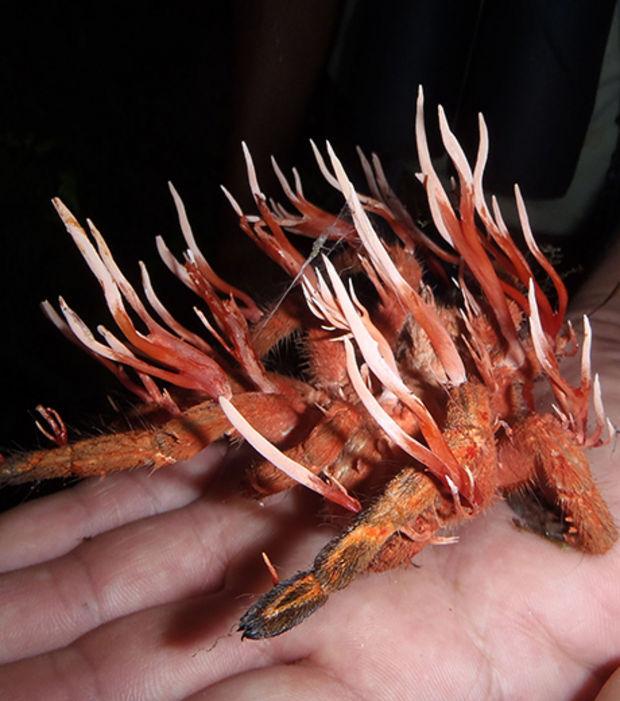http://www.infolites.fr/wp-content/uploads/2015/10/cordyceps-ignota-est-un-champignon-parasite-qui-infecte-les-insectes_66659_w620.jpg
