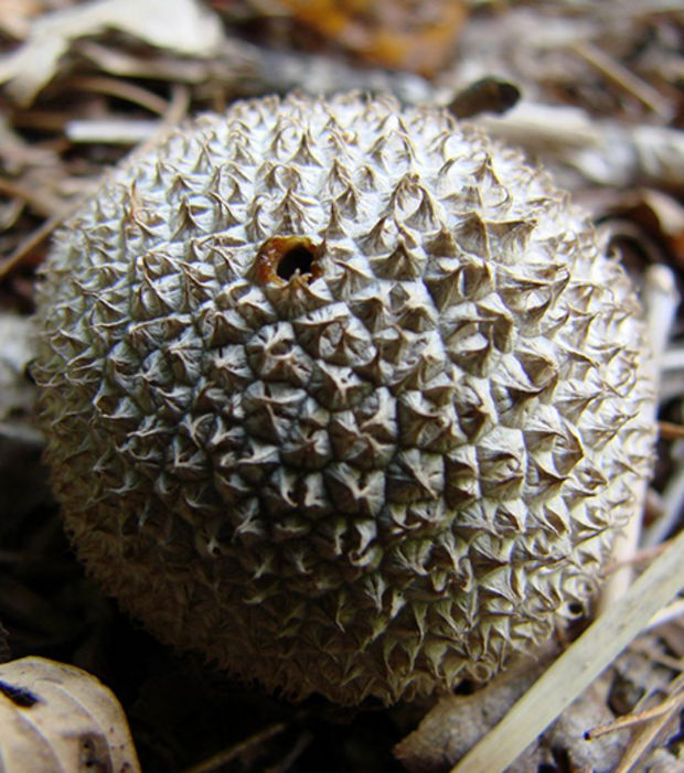 http://www.infolites.fr/wp-content/uploads/2015/10/le-lycoperdon-est-un-champignon-qui-a-une-forme-de-litchi_66662_w620.jpg