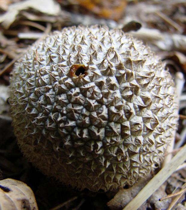 https://www.infolites.fr/wp-content/uploads/2015/10/le-lycoperdon-est-un-champignon-qui-a-une-forme-de-litchi_66662_w620.jpg