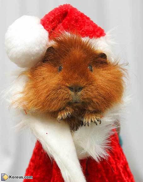 Cochon dinde de Noël
