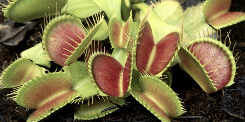 Les plantes carnivores savent compter jusqu'à 5
