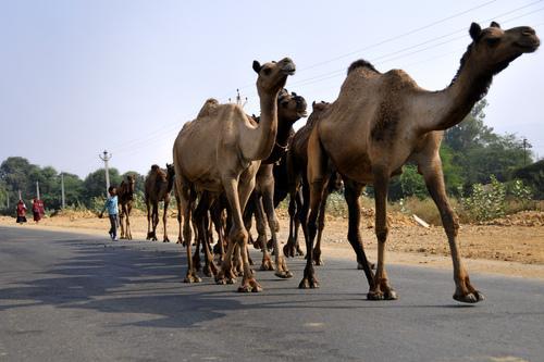 chameau route
