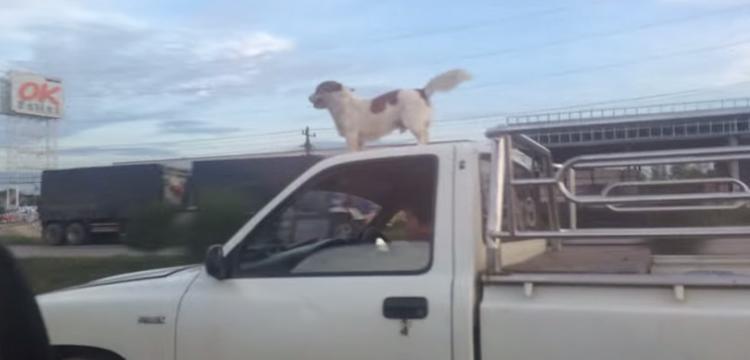 chien-toit-voiture-qui-roule