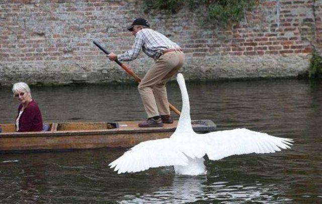 cygne-barque-attaque-meneur