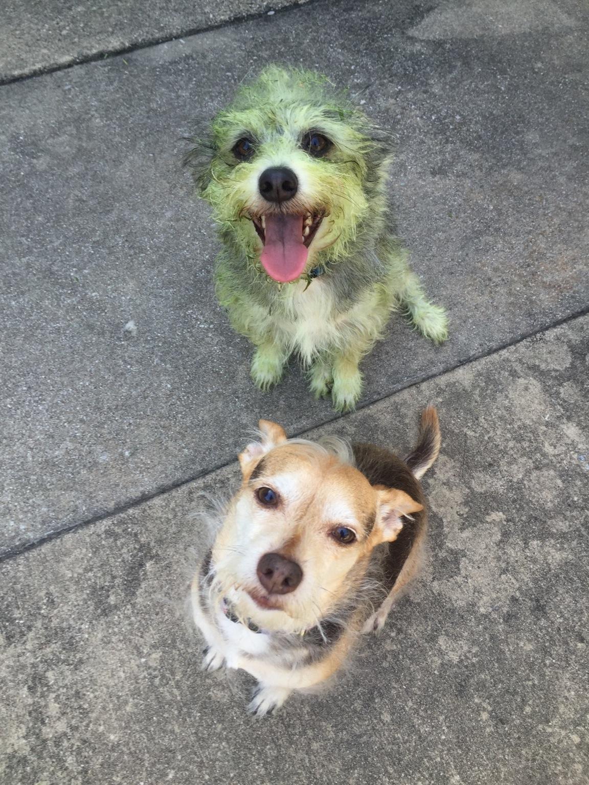 Lequel des deux chiens a aidé à tondre la pelouse ?